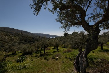 7 acres olive grove at Megali Mantineia